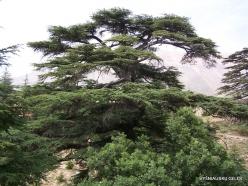 2. Arz ar-Rabb (Cedars of God) reserve. Old Cedar of Lebanon (Cedrus libani) (5)