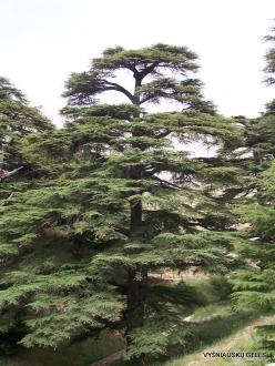 2. Arz ar-Rabb (Cedars of God) reserve. Old Cedar of Lebanon (Cedrus libani) (6)