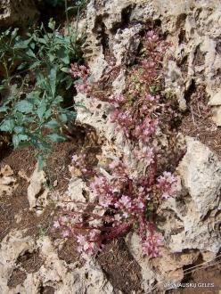 Arz ar-Rabb (Cedars of God) reserve. Rosularia sempervivum var. libanotica