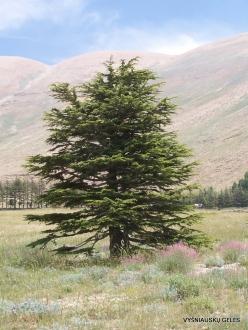 Arz ar-Rabb (Cedars of God) reserve. Young Cedar of Lebanon (Cedrus libani)