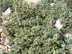 Lebanon Mountains. Machraa el Qalaât. Alpine plants (15)