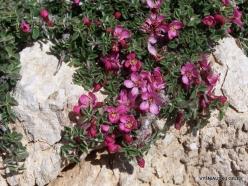 Lebanon Mountains. Machraa el Qalaât. Alpine plants (22)