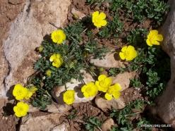 Lebanon Mountains. Machraa el Qalaât. Alpine plants (23)
