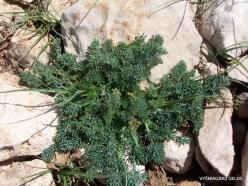 Lebanon Mountains. Machraa el Qalaât. Alpine plants (24)