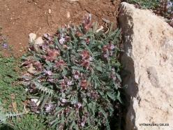 Lebanon Mountains. Machraa el Qalaât. Alpine plants (25)