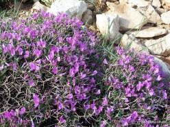 Lebanon Mountains. Machraa el Qalaât. Alpine plants (28)