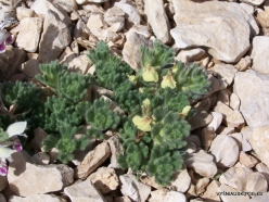 Lebanon Mountains. Machraa el Qalaât. Alpine plants (31)