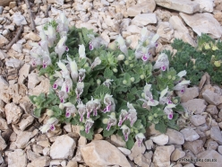 Lebanon Mountains. Machraa el Qalaât. Alpine plants (32)