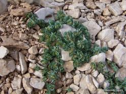 Lebanon Mountains. Machraa el Qalaât. Alpine plants (35)