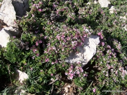 Lebanon Mountains. Machraa el Qalaât. Alpine plants (38)