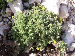 Lebanon Mountains. Machraa el Qalaât. Alpine plants (39)