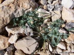 Lebanon Mountains. Machraa el Qalaât. Alpine plants (40)