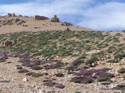 Lebanon Mountains. Machraa el Qalaât. Alpine plants (5)
