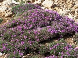 Lebanon Mountains. Machraa el Qalaât. Alpine plants (9)