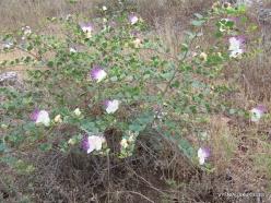 Anfeh. Caper bush (Capparis spinosa) (2)