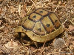 Anfeh. Greek tortoise (Testudo graeca)-001