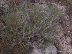 Anfeh. Mediteranian plants (2)