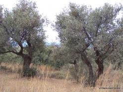 Anfeh. Olive (Olea europaea)