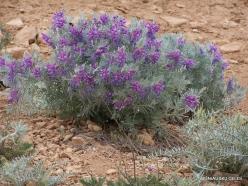 Faitroun. Mountain plants (13)