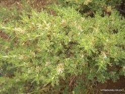 Faitroun. Mountain plants (17)