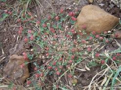 Faitroun. Mountain plants (2)