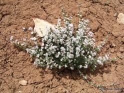Faitroun. Mountain plants (9)