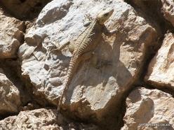 Wadi Kadisha (Kadisha Valley). Monastery of Mar Lishaa (St. Elisha). Starred agama (Stellagama stellio)-001
