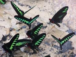 Perak. Near Tapah. Hutan Lipur Kuala Woh. Rajah Brooke's birdwings (Trogonoptera brookiana albescens) (5)