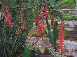 Perak. Near Tapah. Lata Iskandar waterfall. Heliconia psittacorum