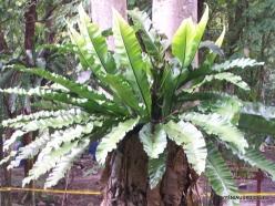 Perak. Near Tapah. Lata Iskandar waterfall. Nest fern (Asplenium nidus)