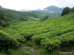 1 Pahang. Cameron Highlands. Tea plantation (2)