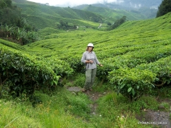 1 Pahang. Cameron Highlands. Tea plantation (3)