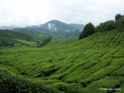 1 Pahang. Cameron Highlands. Tea plantation (4)