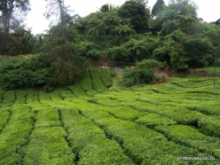 1 Pahang. Cameron Highlands. Tea plantation (5)