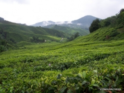 1 Pahang. Cameron Highlands. Tea plantation