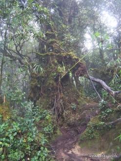 2 Pahang. Near Brinchang. Mossy Forest (10)