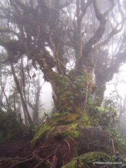 2 Pahang. Near Brinchang. Mossy Forest (14)