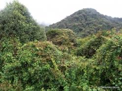 2 Pahang. Near Brinchang. Mossy Forest (4)