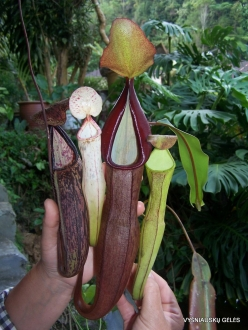 3 Pahang. Near Tanah Rata. Gunung Jasar. Pitcher plants (Nepenthes sp.) (1)