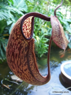 3 Pahang. Near Tanah Rata. Gunung Jasar. Pitcher plants (Nepenthes sp.) (3)