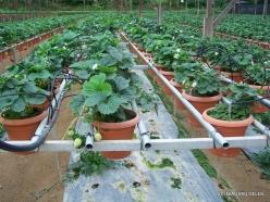 Pahang. Near Brinchang. Kea Farm (4)