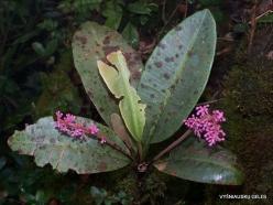 Pahang. Near Brinchang. Mossy Forest