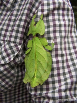 Pahang. Near Tanah Rata. Cameron Highland Butterfly Farm. Giant leaf insect (Phyllium giganteum)