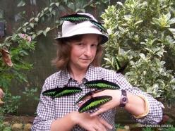 Pahang. Near Tanah Rata. Cameron Highland Butterfly Farm. Rajah Brooke's birdwings (Trogonoptera brookiana albescens)