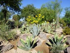 1 Las Vegas. Ethel M Cactus Garden. Agave americana (Century Plant)