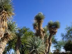 1 Las Vegas. Ethel M Cactus Garden. Blue Yucca (Yucca rigida)