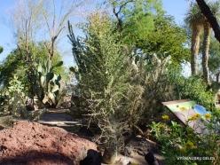 1 Las Vegas. Ethel M Cactus Garden. Boojum tree (Fouquieria columnaris) (2)