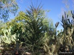 1 Las Vegas. Ethel M Cactus Garden. Boojum tree (Fouquieria columnaris)