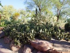 1 Las Vegas. Ethel M Cactus Garden. Bunny ears cactus (Opuntia microdasys)