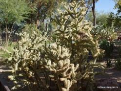 1 Las Vegas. Ethel M Cactus Garden. Cane Cholla (Cylindropuntia versicolor)